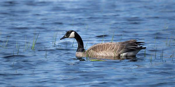 Photograph - Goose #6 by David Heilman