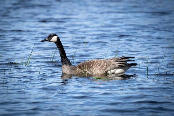 Photograph - Goose 7 by David Heilman