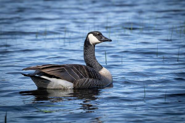 Photograph - Goose 8 by David Heilman