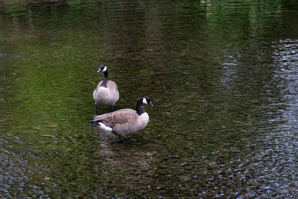 Photograph - Goose Down by Steven Clark