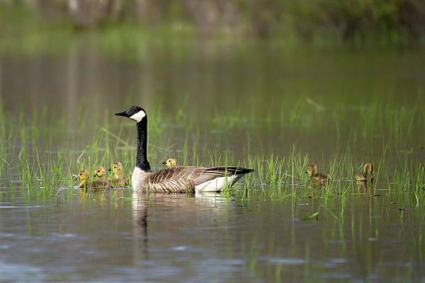 Photograph - Goose Family #1 by David Heilman
