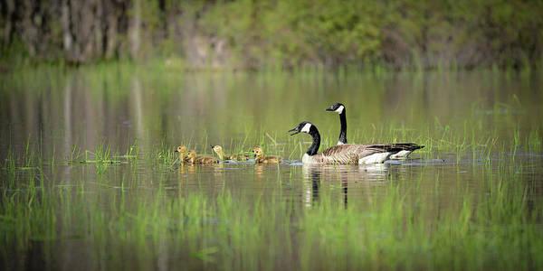 Photograph - Goose Family #2 by David Heilman