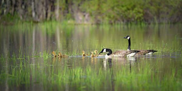 Photograph - Goose Family #3 by David Heilman