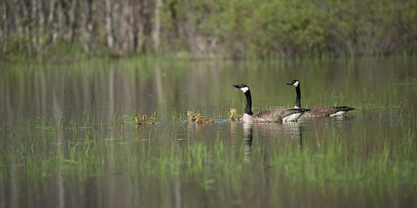 Photograph - Goose Family #4 by David Heilman