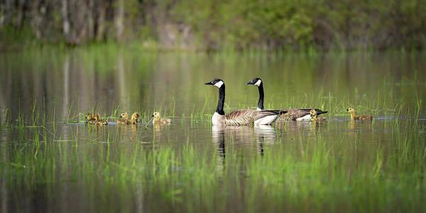 Photograph - Goose Family #5 by David Heilman