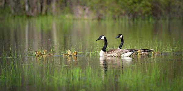 Photograph - Goose Family #6 by David Heilman