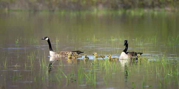 Photograph - Goose Family #7 by David Heilman