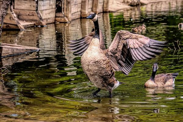 Photograph - Goose Spreading Wings by Don Northup