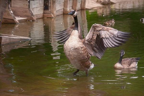 Photograph - Goose Spreading Wings Impressionist by Don Northup
