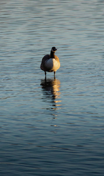 Photograph - Goose Stood In Water by Scott Lyons