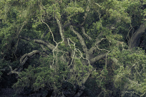 Coast Live Oak Photograph - Gordian Oak by Alexander Kunz