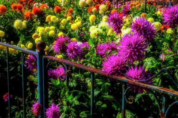 Wall Art - Photograph - Gorgeous Dahlia Garden by Garry Gay