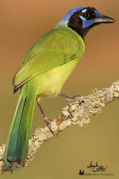 Photograph - Gorgeous Green Jay by David Cutts
