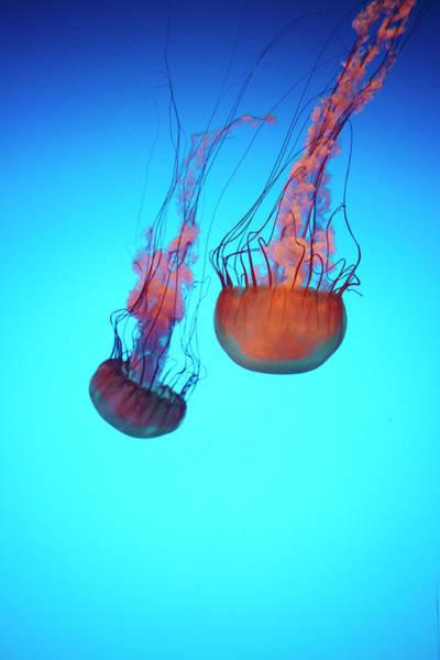 Wall Art - Photograph - Gorgeous Jellyfish Swim In Caribbean by Dana Hoff