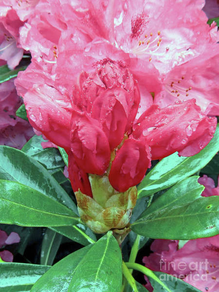 Wall Art - Photograph - Gorgeous Rhododendrons 3 by Kim Tran