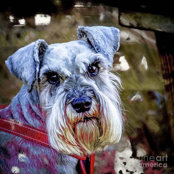 Photograph - Gorgeous Schnauzer by Nigel Dudson