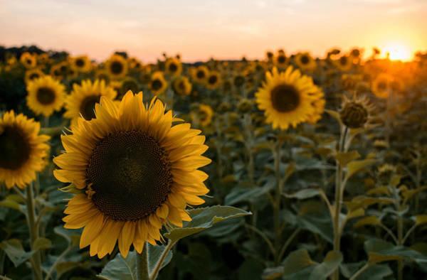 Photograph - Gorgeous Sunflower Sunset by Tailor Hartman