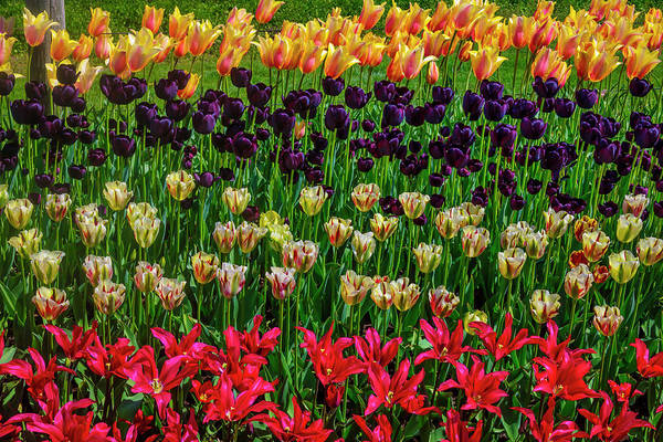 Wall Art - Photograph - Gorgeous Tulip Farm Flowers by Garry Gay