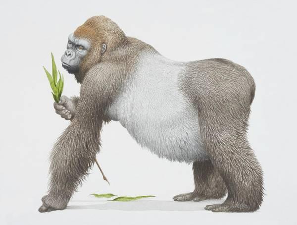Paw Digital Art - Gorilla Gorilla Gorilla, Western by Kenneth Lilly