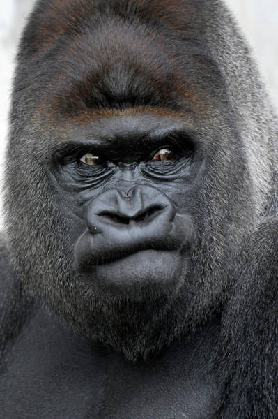 Trapped Photograph - Gorilla Gorilla by Ronald Wittek