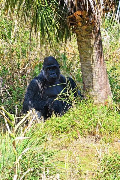 Photograph - Gorilla by Lisa Wooten