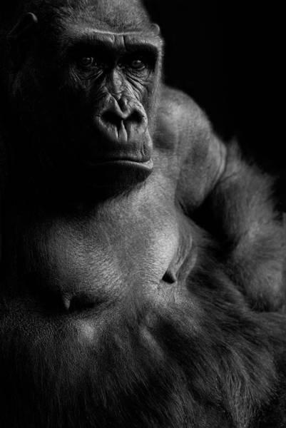 Photograph - Gorilla by Natasha Piris