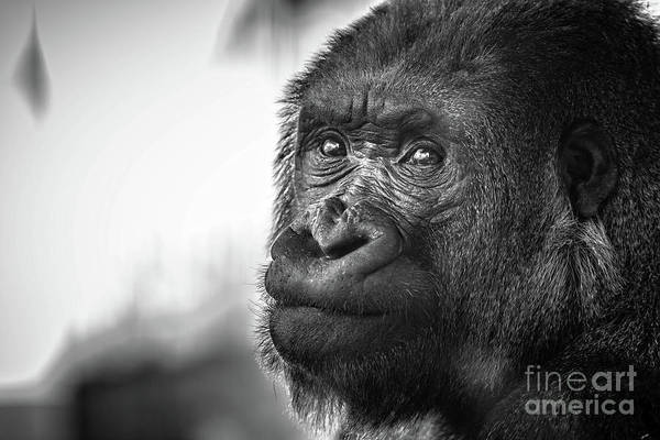 Photograph - Gorilla Portrait by Edward Fielding