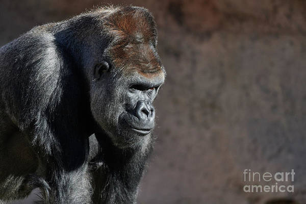 Photograph - Gorilla by Robert WK Clark