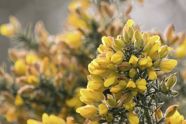Photograph - Gorse by Wendy Cooper