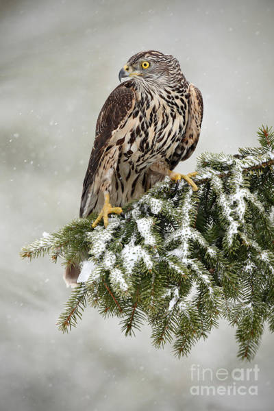 Wall Art - Photograph - Goshawk Sitting Oh The Spruce Branch by Ondrej Prosicky
