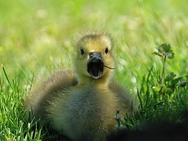 Ryan Gosling Photograph - Gosling Eating by Ronda Ryan