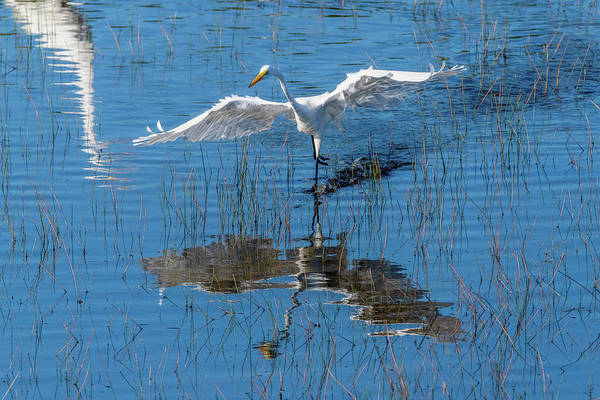 Photograph - Graceful Bird Ruffed Feathers by Dan Friend