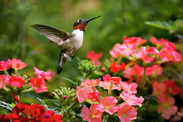 Beautiful Hummingbird Photograph - Graceful Garden Jewel by Christina Rollo