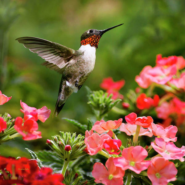 Wall Art - Photograph - Graceful Garden Jewel Hummingbird Square by Christina Rollo