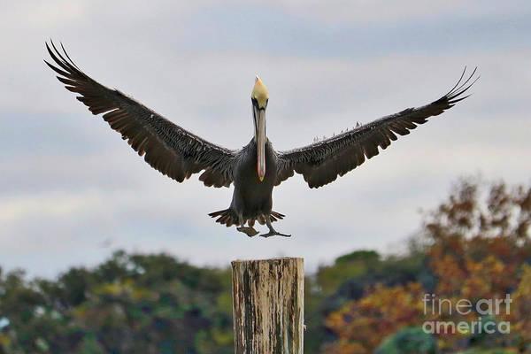 Wall Art - Photograph - Graceful Pelican Landing by Carol Groenen