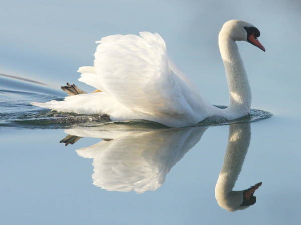 Mute Swan Photograph - Graceful Swan by Andrew Steele