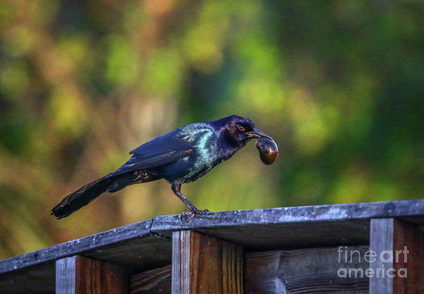 Photograph - Grackle And Snail by Tom Claud