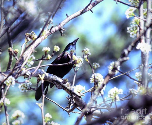 Photograph - Grackle In The Blossoms by Kerri Farley