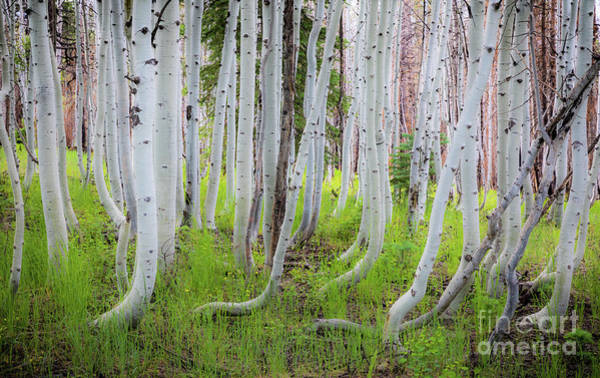 Wall Art - Photograph - Grand Canyon Birch Trees by Inge Johnsson
