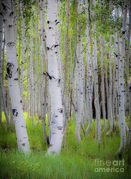 Wall Art - Photograph - Grand Canyon Birches by Inge Johnsson