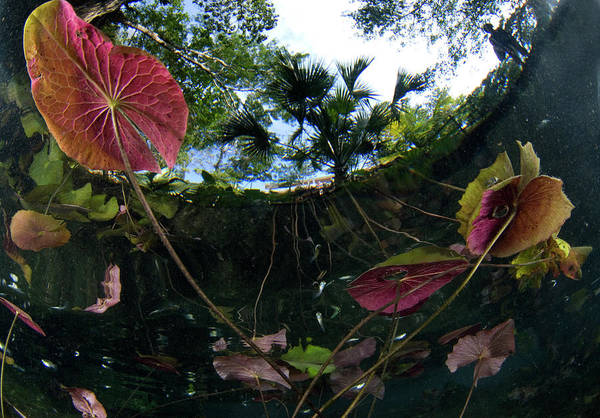 Mayan Riviera Photograph - Grand Cenote Fresh Water Plants And by Luis Javier Sandoval