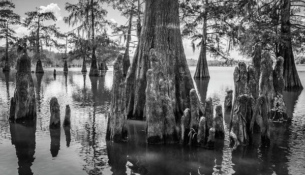 Photograph - Grand Lake Cypress by Andy Crawford
