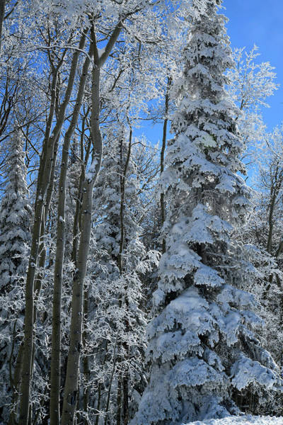 Photograph - Grand Mesa Colorado Blue Spruce by Ray Mathis