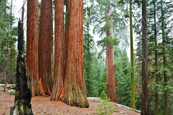 Photograph - Grant Grove Sequoia Trees by Kyle Hanson