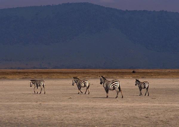 Savannah Photograph - Grant Zebra by Imagenavi