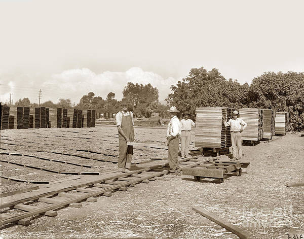 Photograph - Grape Drying, Visalia, Circa 1910 by California Views Archives Mr Pat Hathaway Archives