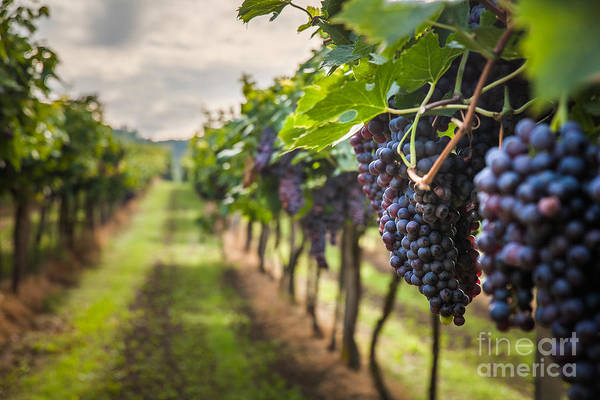 Wall Art - Photograph - Grape Harvest by Lukasz Szwaj