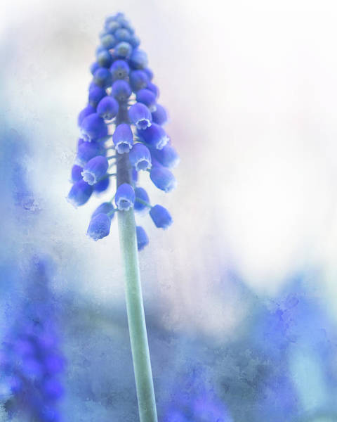 Photograph - Grape Hyacinth 2 by Rebecca Cozart