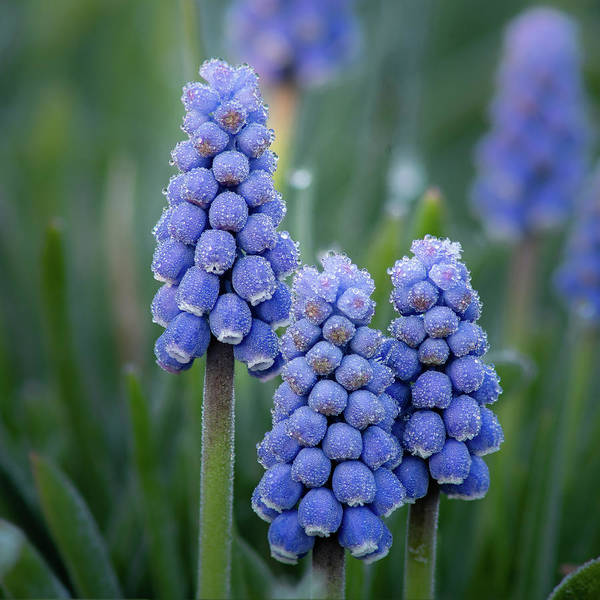 Photograph - Grape Hyacinth by David Heilman