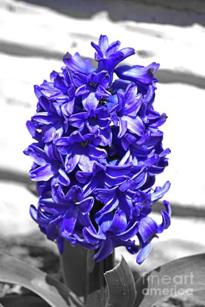 Photograph - Grape Hyacinth by Patti Whitten